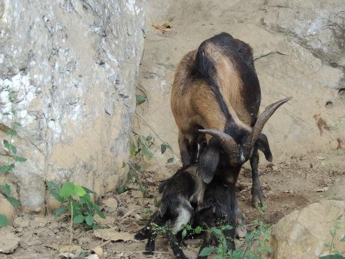 Newborn goats